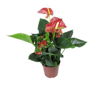 Хабаровск горшечные цветы